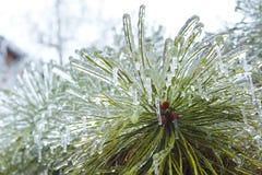 Замороженная сосна Стоковая Фотография RF