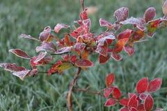 замороженная трава Стоковые Изображения