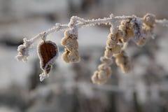 замороженная хворостина Стоковое Изображение