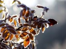 Замороженное бедро в солнечности Стоковые Фотографии RF