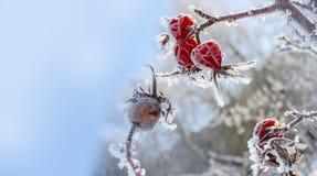Замороженное бедро Стоковая Фотография RF