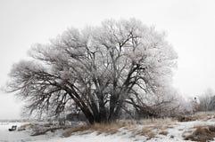 Замороженное дерево вербы Стоковое Изображение RF