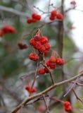 Замороженное дерево рябины в зиме Стоковая Фотография RF