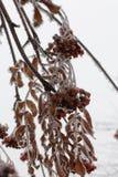 Замороженное дерево ягоды рябины покрытое с крупным планом снега и льда Стоковое Фото