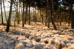 Замороженное золотое травы покрашенное по солнцу Стоковые Изображения RF