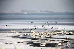 Замороженное озеро и одичалые птицы Стоковые Фотографии RF