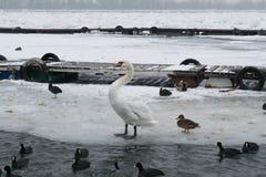 Замороженное река с едой лебедей, чайок, уток и простофиль Стоковое Фото