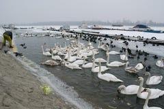 Замороженное река с едой лебедей, чайок, уток и простофиль Стоковое Изображение