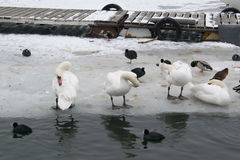 Замороженное река с едой лебедей, чайок, уток и простофиль Стоковое Изображение RF
