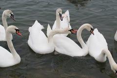 Замороженное река с едой лебедей, чайок, уток и простофиль Стоковые Фото