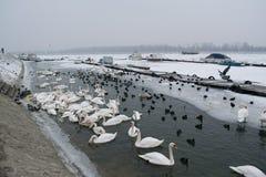 Замороженное река с едой лебедей, чайок, уток и простофиль Стоковые Изображения