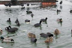Замороженное река с едой лебедей, чайок, уток и простофиль Стоковая Фотография RF