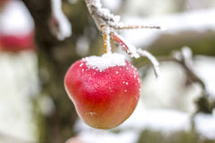 Замороженное яблоко Стоковое Фото