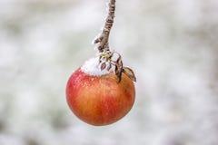 Замороженное яблоко Стоковое фото RF