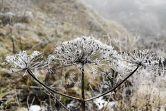 Замороженное sosnowsky в природе, времени wnter, Georgia Стоковая Фотография