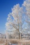 замороженные березы стоковое фото rf