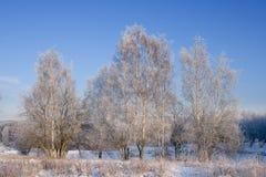 замороженные березы стоковое изображение rf