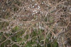 Замороженные ветви яблони с предпосылкой сосулек Стоковая Фотография RF