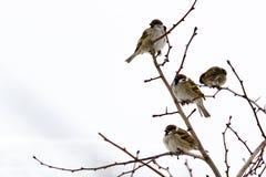 Замороженные воробьи на ветвях куста Стоковые Фото