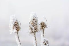 Замороженные ворсянки Стоковое Фото