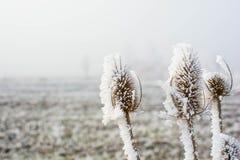 Замороженные ворсянки Стоковые Изображения RF
