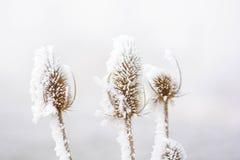 Замороженные ворсянки Стоковые Фотографии RF
