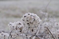 Замороженные головы семени clematis Стоковая Фотография RF