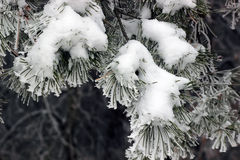 Замороженные елевые ветви Стоковая Фотография RF