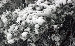 Замороженные елевые ветви Стоковое Фото