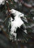 Замороженные елевые ветви Стоковое Изображение