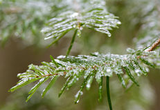 Замороженные елевые иглы дерева - близкое поднимающее вверх Стоковые Изображения