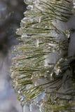 Замороженные иглы сосны в зиме Стоковое фото RF