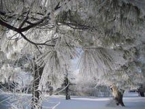 Замороженные иглы сосны Стоковые Изображения RF