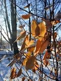 Замороженные листья апельсина в солнце зимы Стоковые Фотографии RF