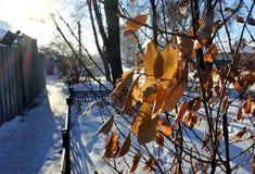 Замороженные листья апельсина в солнце зимы Стоковые Изображения