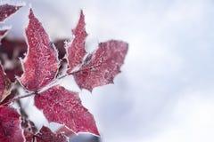 Замороженные листья ветви и красного цвета дерева предусматриванные с гололедью Стоковая Фотография RF