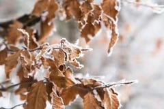 Замороженные листья в снеге Стоковые Фото