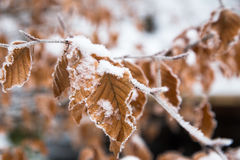 Замороженные листья в снеге Стоковая Фотография RF