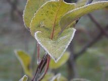 замороженные листья зеленого цвета Стоковая Фотография RF