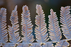 Замороженные листья папоротника в последней осени стоковые изображения rf