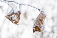 Замороженные листья покрытые с изморозью стоковые фото