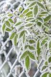 Замороженные листья покрытые с изморозью стоковое изображение