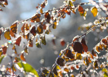 Замороженные листья Стоковое Фото