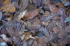 замороженные листья Стоковая Фотография RF