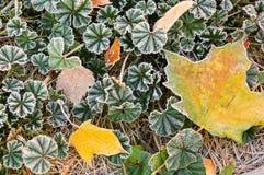 замороженные листья Стоковое Изображение RF