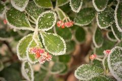 Замороженные лист и ягоды стоковое изображение
