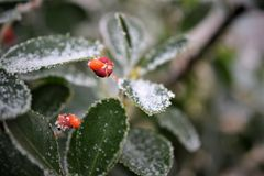 Замороженные лист и ягоды 2 стоковые фотографии rf