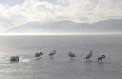 замороженные лебеди озера Стоковые Изображения