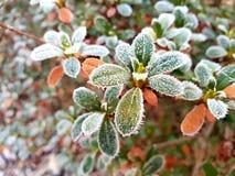 Замороженные листья азалии стоковое фото rf
