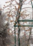 Замороженные оранжевые ягоды Стоковое Изображение